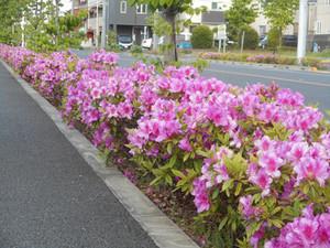 五月の風。鯉のぼり舞い、街につつじ匂う