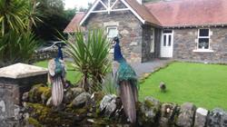 Peacock lunch break!
