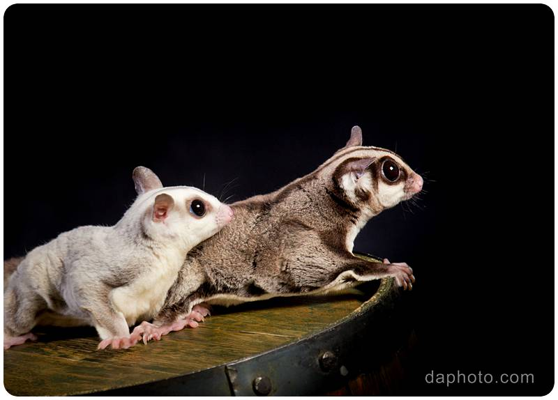 PETS_SugarGliders_5979-crop_1200px