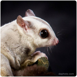 PETS_SugarGlider_5986-1000px_1200px