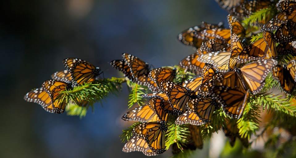 MonarchButterflies_20090910 (1).jpg