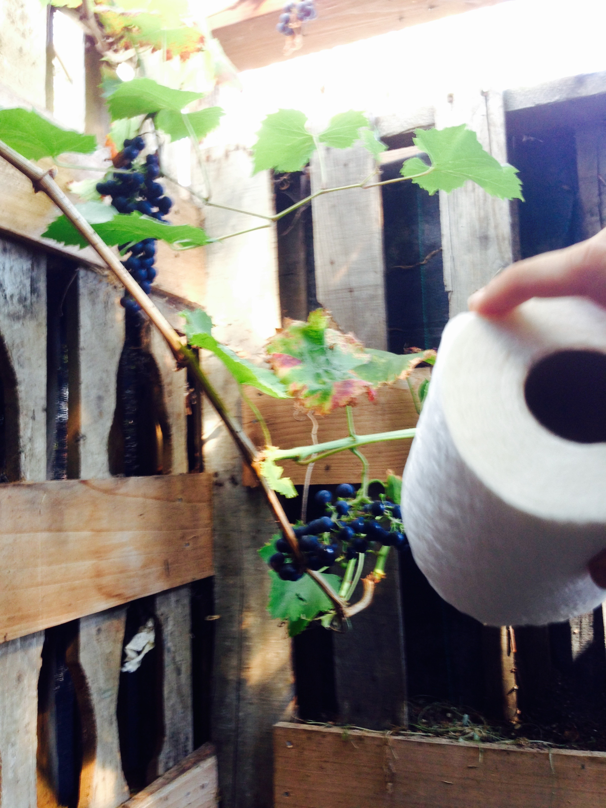 Compost toilet with grapes growing!