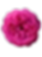 Pink%20English%20rose%20isolated%20on%20