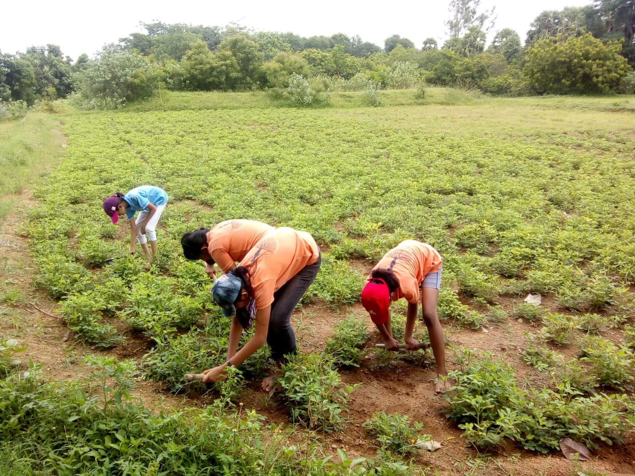 Earthing up the soil in the Groundnut fi
