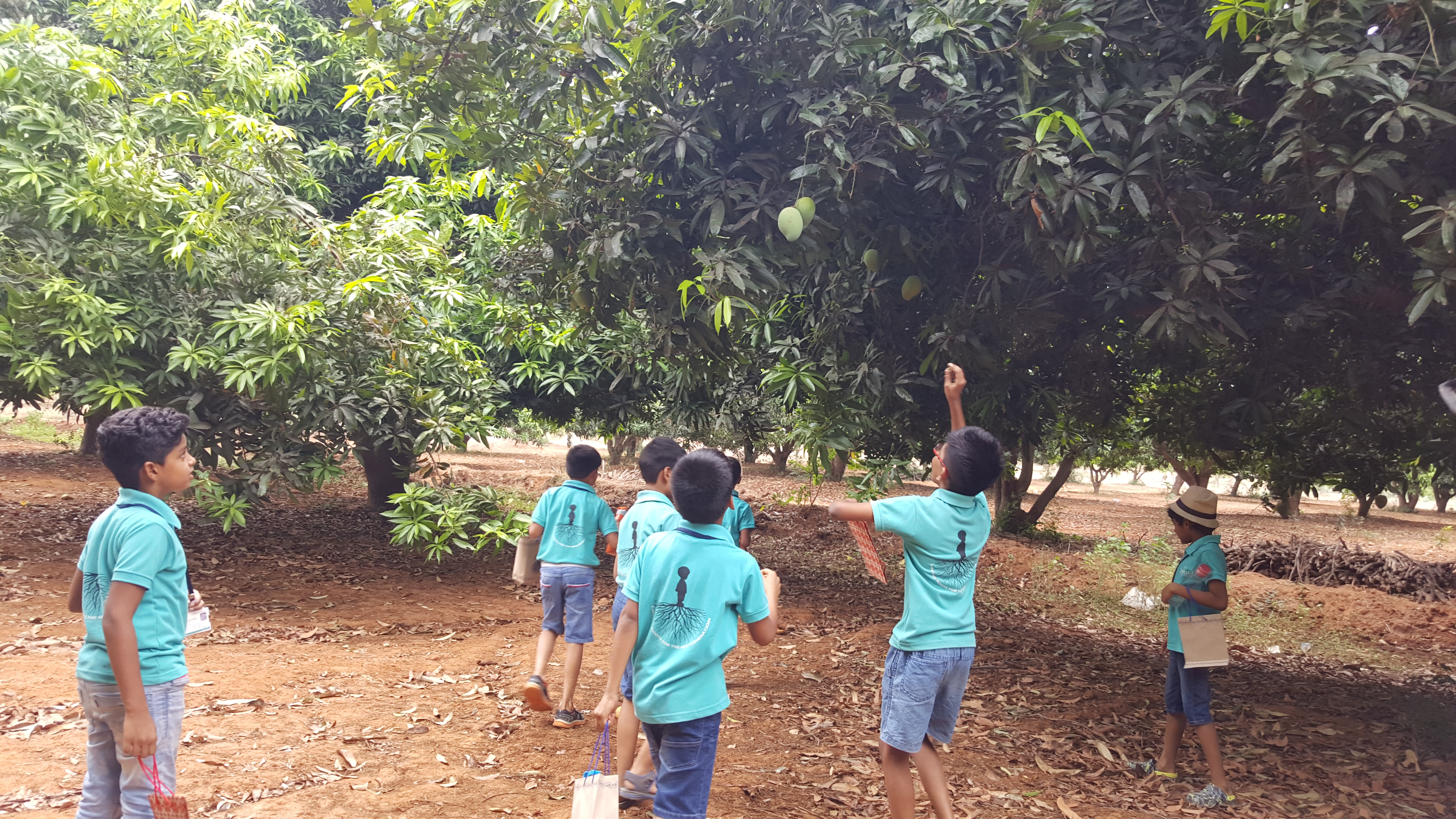 Trying their luck at plucking mangoes