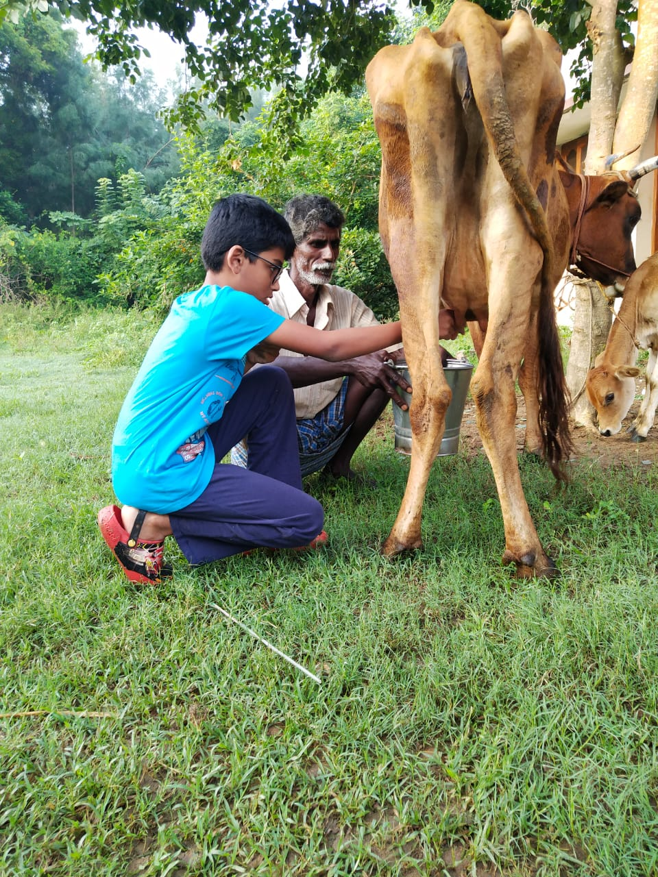 Milking Cows at the Farm