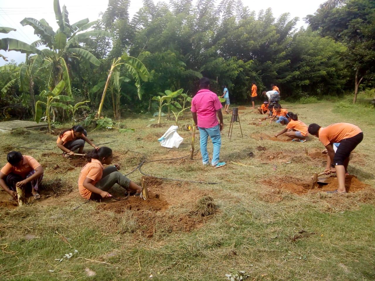 Planting of Banana Suckers