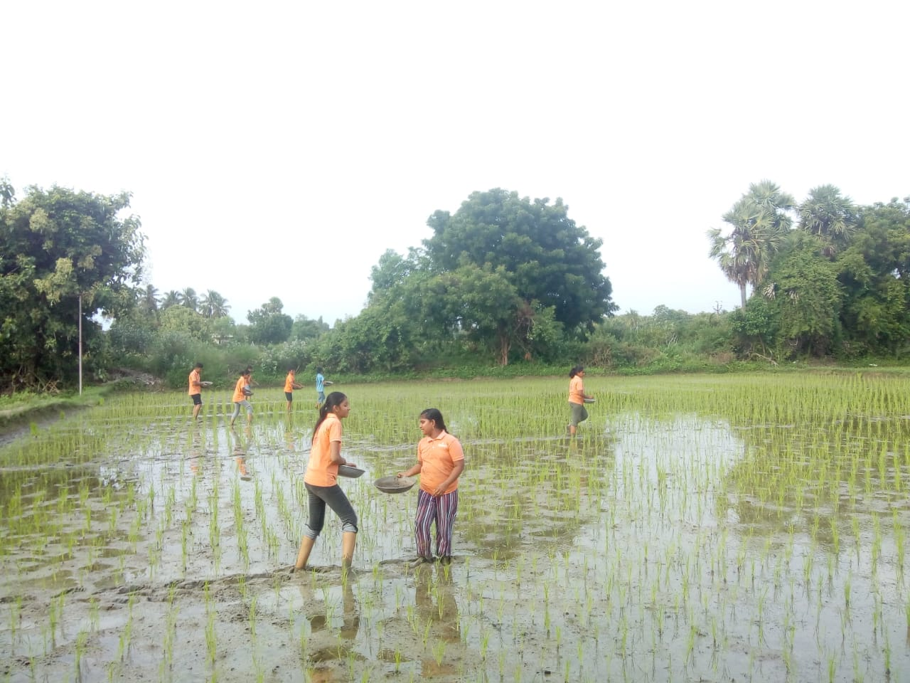 Manuring the Paddy Field