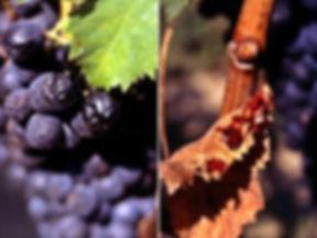 Lacrima grapes.jpg