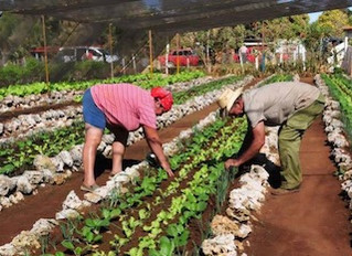 Cuba Leading the Way in Urban Agriculture with 'Organopónicos'