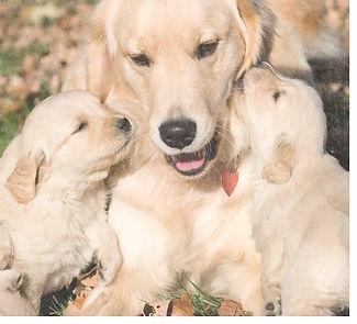 golden-retriever-puppies-and-mother_edit