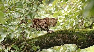 leopardo nel Parco nazionale di Ranthambore