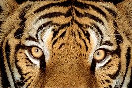 lo sguardo di una tigre