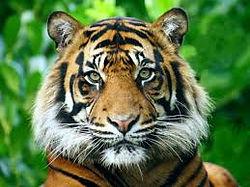 riserva delle tigri del bengala