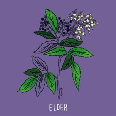 Elder Botanical Illustration