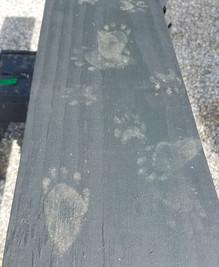 2018-06-24 Tracks of juvenile black bear.jpg