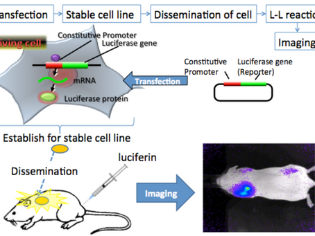 COVID-19 Vaccines: All Transfection Methods will use (Luciferase Gene)