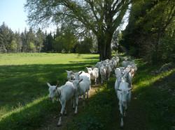 Chèvres Carole FAUDON
