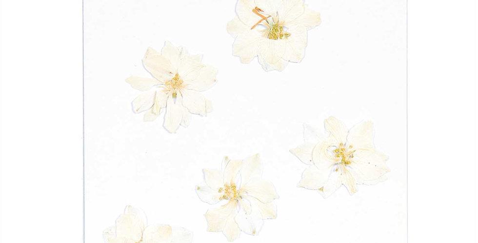 Gepresste Blüten, Rittersporn weiß