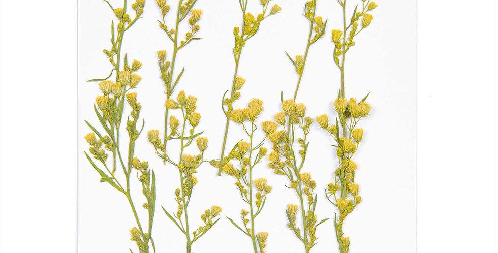 Gepresste Pflanzen, Kanadisches Berufkraut