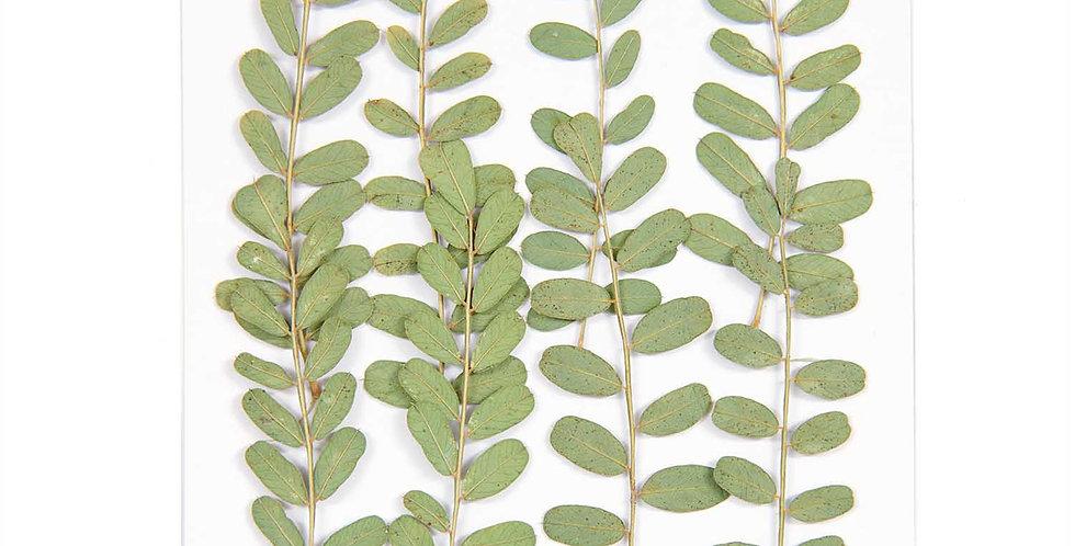 Gepresste Pflanzen, Nelkengewächs