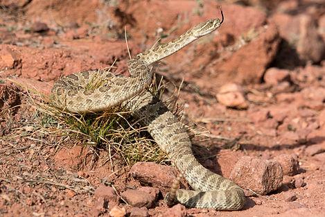 Morrison Rattlesnake Site.jpg