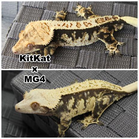 KitKat x MG4.jpg