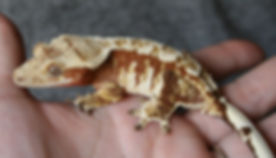 Azaelea Red Crested Gecko breeder