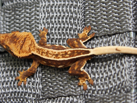 Observations about structure in Crested Geckos: