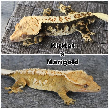 KitKat x Marigold.jpg