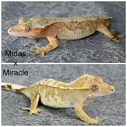 Midas x Miracle w names.jpg