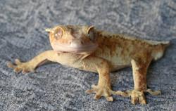 Geckological2.jpg