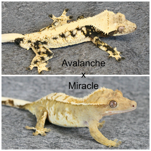 Avalanche x Miracle.jpg
