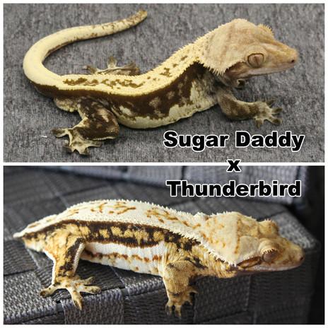 Sugar Daddy x Thunderbird.jpg