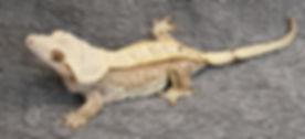 Snickerdoodle 4.jpg