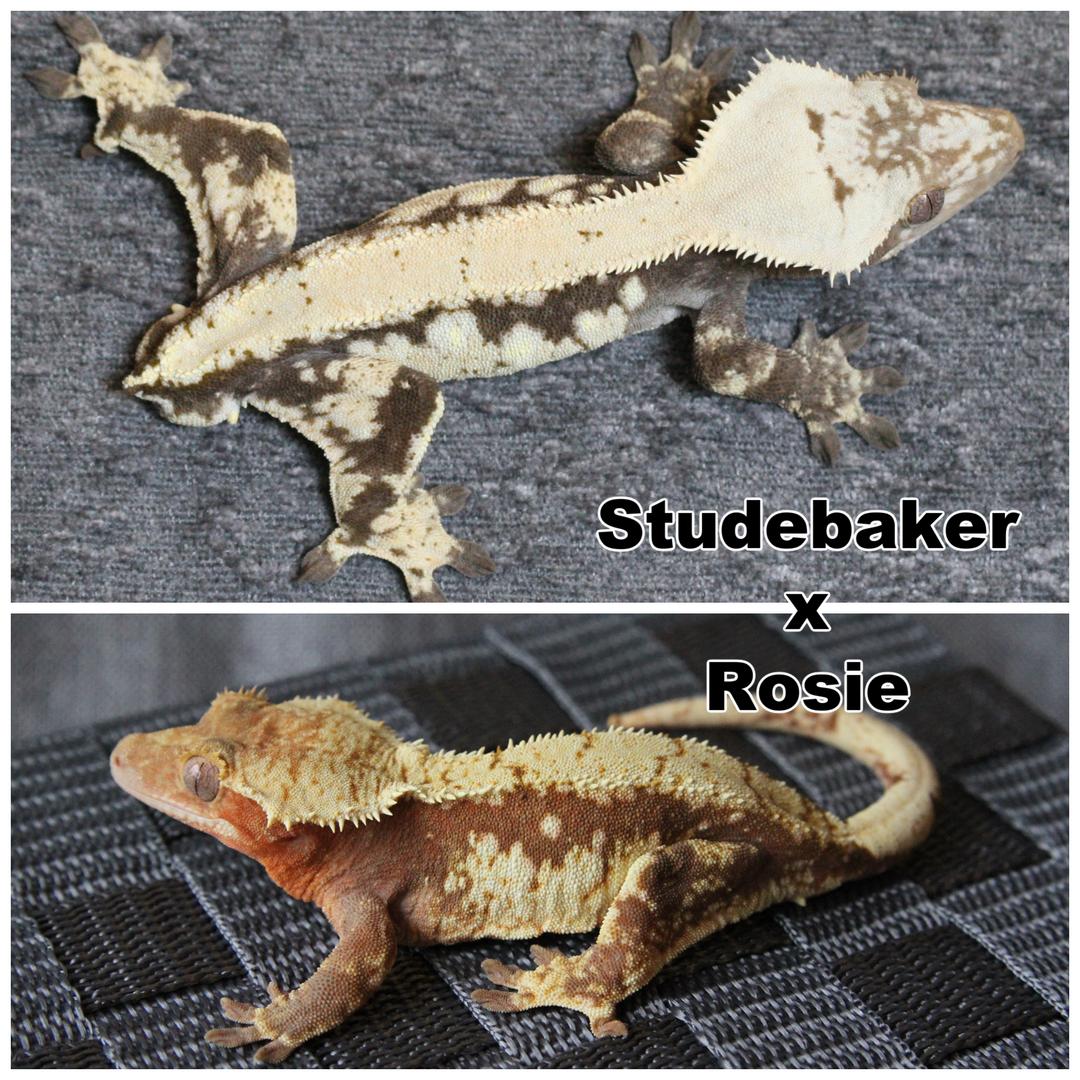 Studebaker x Rosie.png