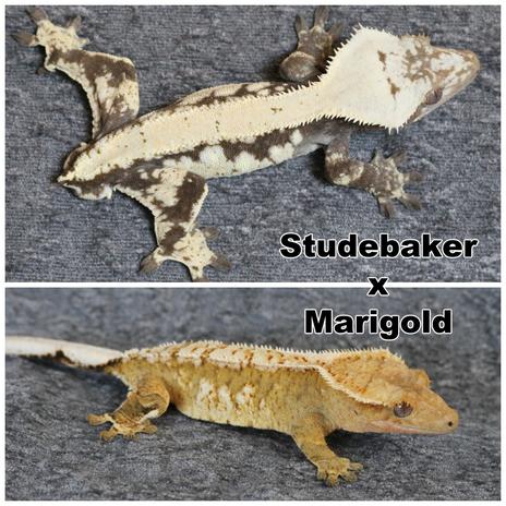 Studebaker x Marigold.png