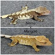 Necco x Marigold.jpg