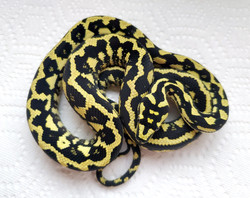 Hold-back male (Jada x Luther 2019)