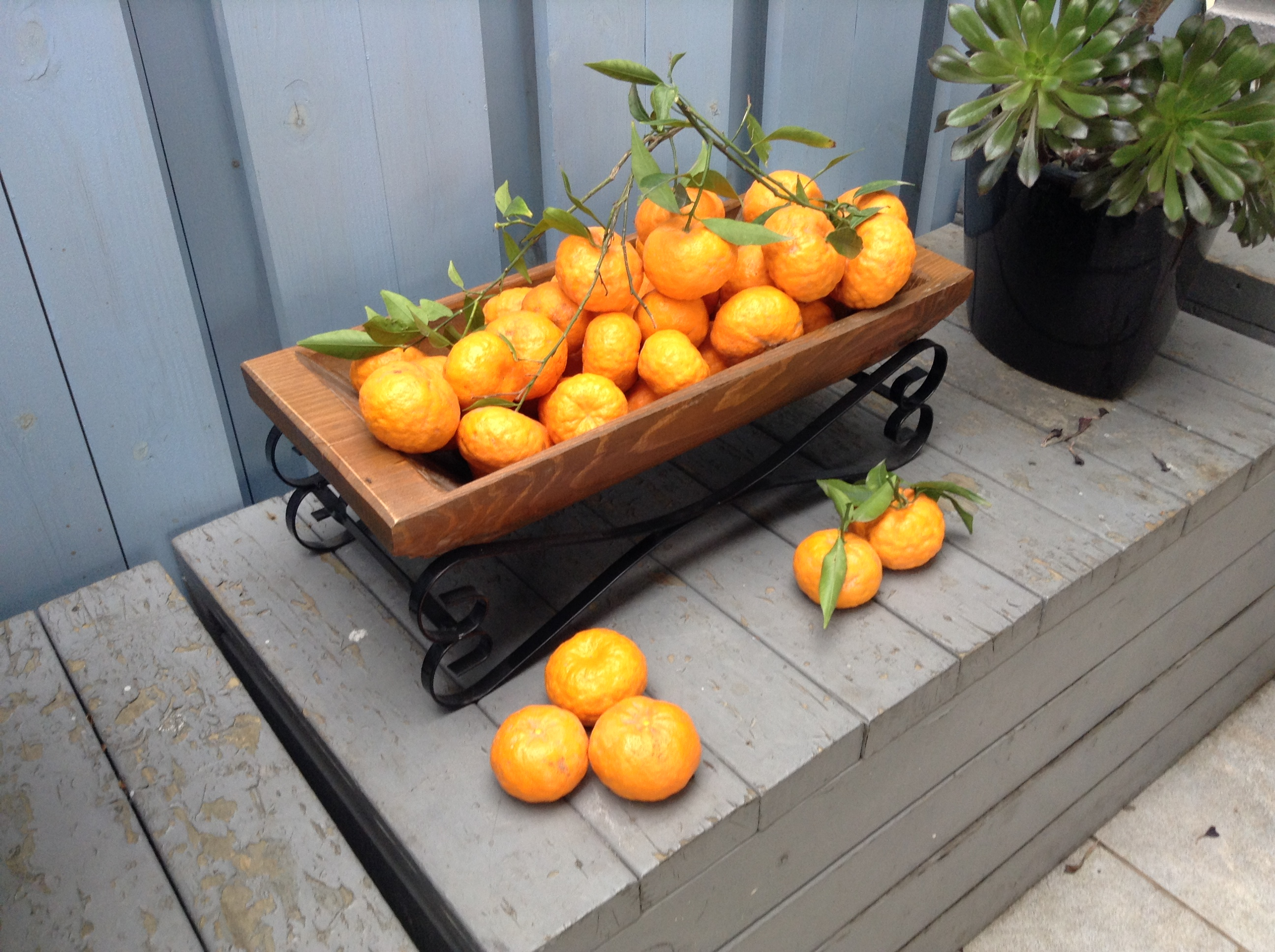 Hand picked oranges for Food Lovers