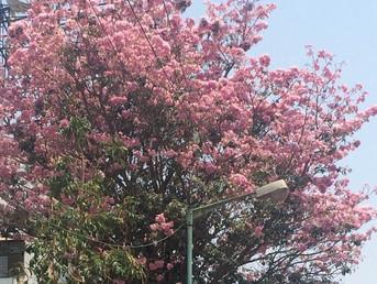 Bangalore's own cherry blossom tree