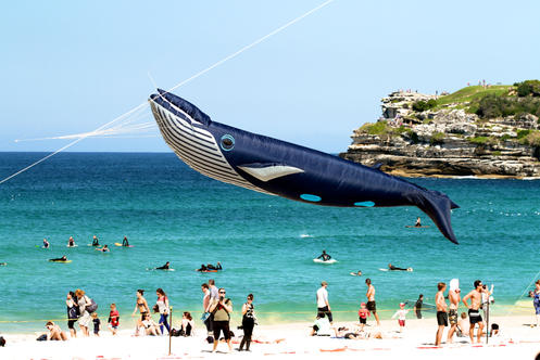 """2015 A life size whale kite piloted by Craig Hanson from New Zealand soars above Bondi Beach during the annual Festival of the Winds.  """"Its just fabulous, and free power, its there is use and take hold of, """" Hansen said, """"it takes you out of yourself, you get to look up, instead of looking down all the time""""(Photo:Matt Fallon)"""