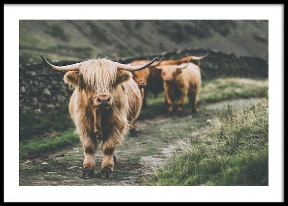 Highland Cows Print - Cow Poster
