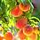 Thumbnail: Georgia Peaches