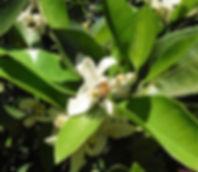 Bee on blossom (2).JPG