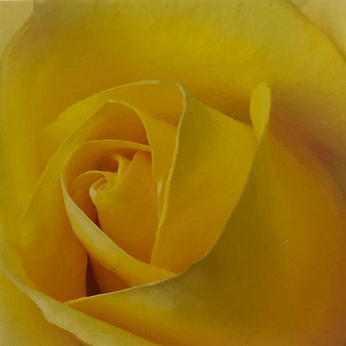 Yellow Rose 2 Photograph
