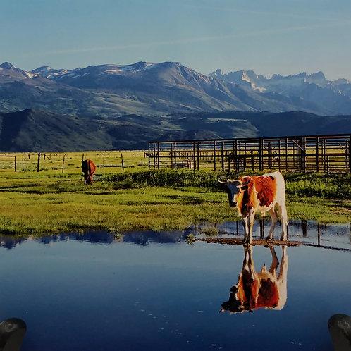 """Bovine Reflections"""