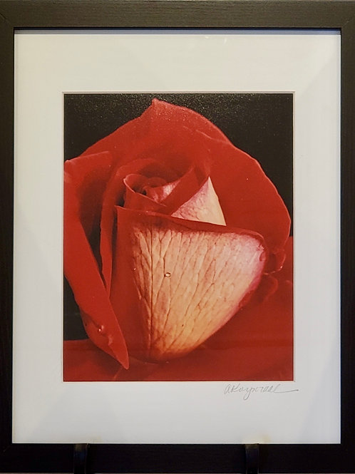 Rose Portrait Framed Photograph