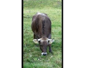La vache 2.0 fait son show au Salon se l'agriculture à Paris, et c'est une Vosgienne !