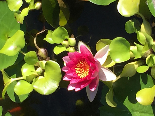 Lotus photo 1